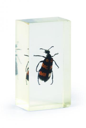 Chinesischer Blasenkäfer in Acrylblock gegossen. »Mylabris Phalerata Pallas«.