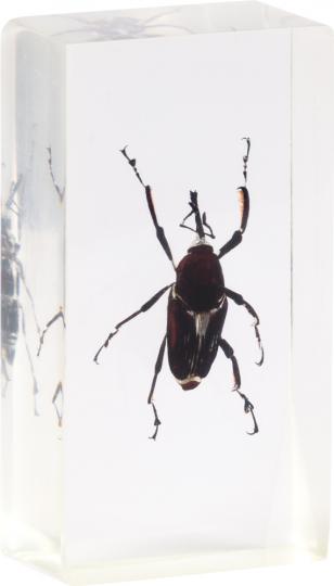 Rüsselkäfer in Acrylblock gegossen. »Cyrtotrachelus buqueti«