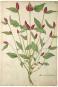 Die Bildgeschichte der Botanik. Pflanzendarstellungen des 15.-18. Jahrhunderts aus der Sammlung Christoph Jacob Trew. Bild 3