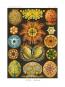 Kunstformen der Natur - Bibliophil ausgestatteter Faksimile-Reprint des Originals von 1899 mit Ergänzungsheft Bild 4