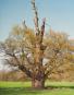 Riesige Eichen. Baumpersönlichkeiten und ihre Geschichten. Bild 4