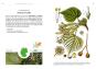Die Baumarten Deutschlands erkennen und bestimmen. Bild 6