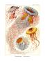 Kunstformen der Natur - Bibliophil ausgestatteter Faksimile-Reprint des Originals von 1899 mit Ergänzungsheft Bild 6