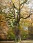 Riesige Eichen. Baumpersönlichkeiten und ihre Geschichten. Bild 6