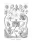 Kunstformen der Natur - Bibliophil ausgestatteter Faksimile-Reprint des Originals von 1899 mit Ergänzungsheft Bild 7