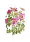 Maria Sibylla Merian. Der Raupen wundersame Verwandlung und sonderbare Blumennahrung. 2 Bände. Bild 7